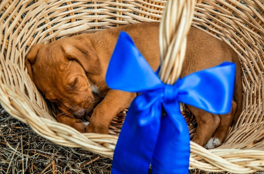 Kup psa pod choinkę? Pies prezent? Zastanówcie się dwa razy…
