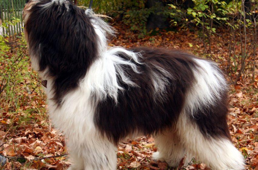 Polski owczarek nizinny to pies dla rodziny o pasterskiej genezie
