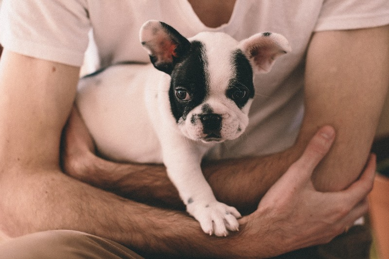 Buldog francuski. Jeśli jesteś domatorem jest to pies dla ciebie!