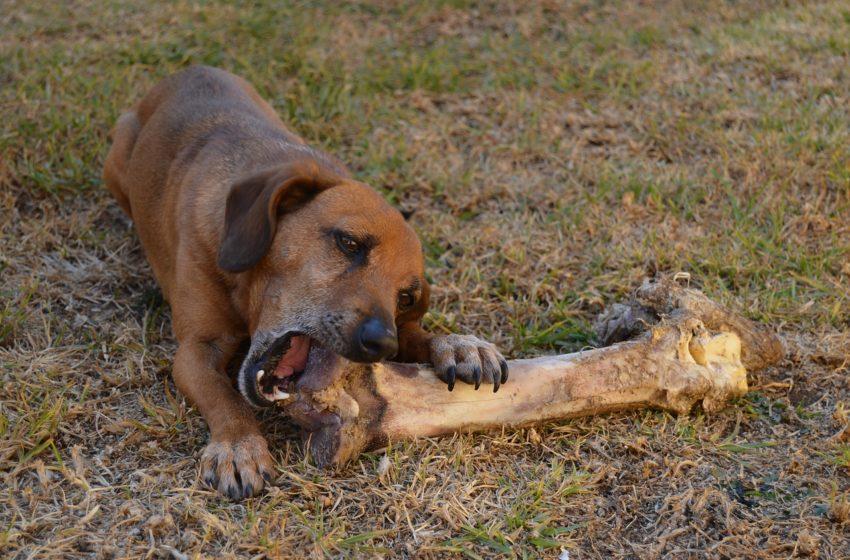 Mity o mięsie dla psa, a więc czy pies może jeść kości, kurczaka i podroby?