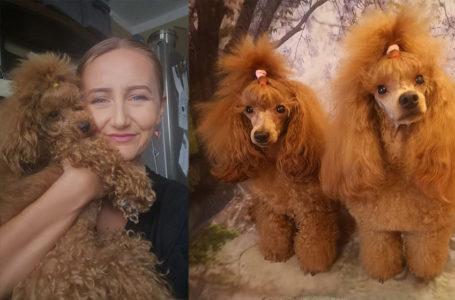 Hodowca psów: żaden pies nie kocha tak mocno jak pudel