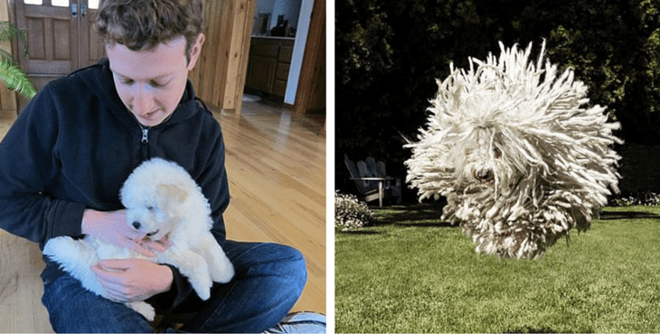 Puli to pies mop uprzywilejowany przez Orbána i kochany przez Zuckerberga!