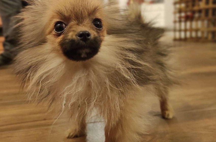 Szpic miniaturowy – Pomeranian. Mały, ale byk!