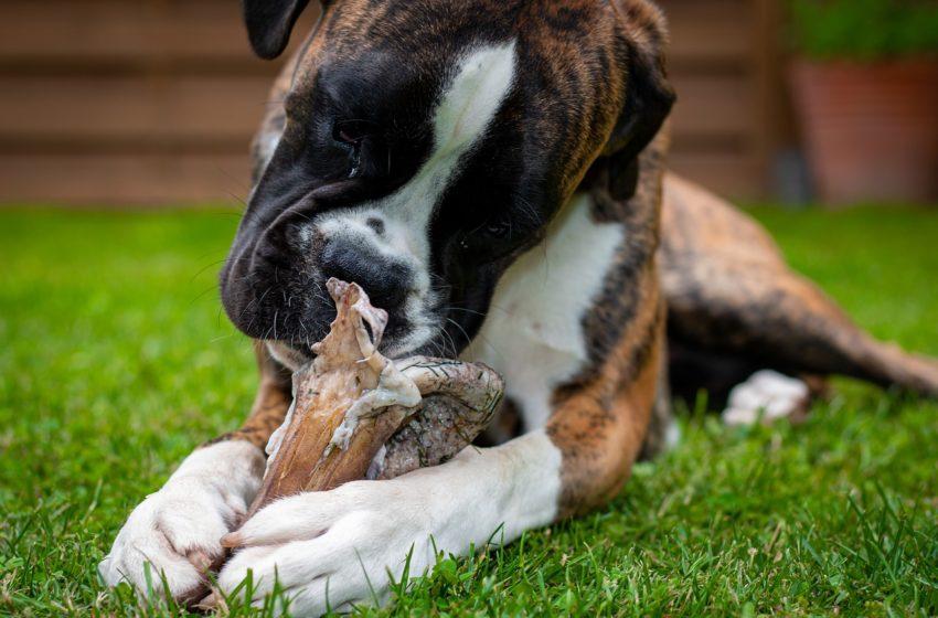 BARF to surowe mięso i powrót do dzikości w diecie psa