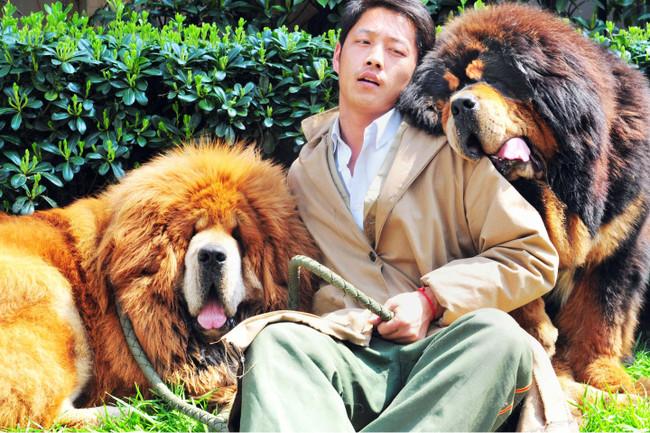 Mastif tybetański azjatyckim wyznacznikiem statusu społecznego. Pies za 1,5 miliona euro
