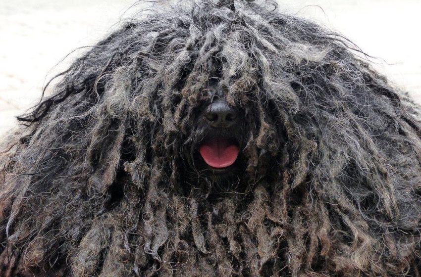 Puli to pies rasta, z którego nie zrobisz mieszczucha