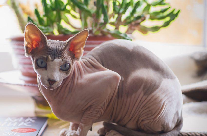 Koty sfinks to koty bez futra, ale ogrzewa je za to…