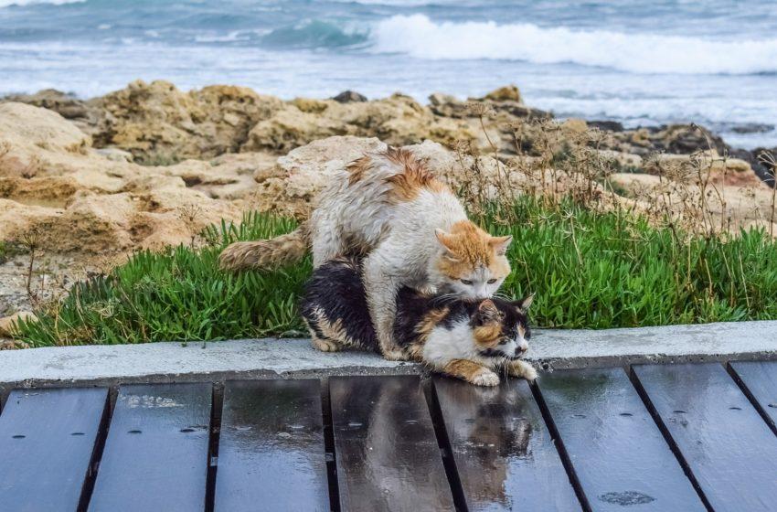 Dlaczego kotka płacze w akcie miłości? Marcowanie i tajemnice kociego seksu