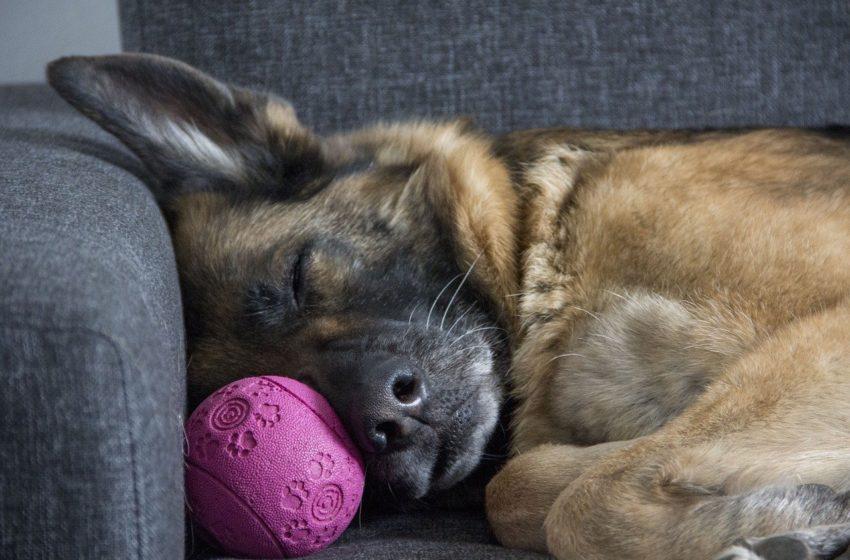 O czym śni Twój pies? Naukowcy zbadali ten obszar psiego mózgu