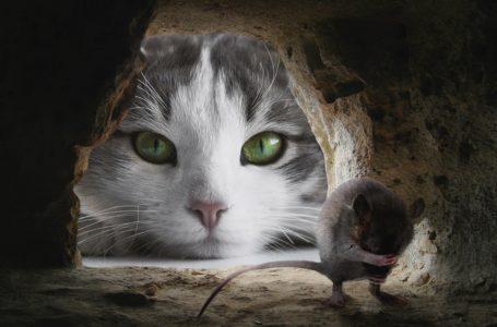 Toxoplasma gondii. Ten pasożyt zmienia zachowanie myszy po to, by kot mógł je zjeść