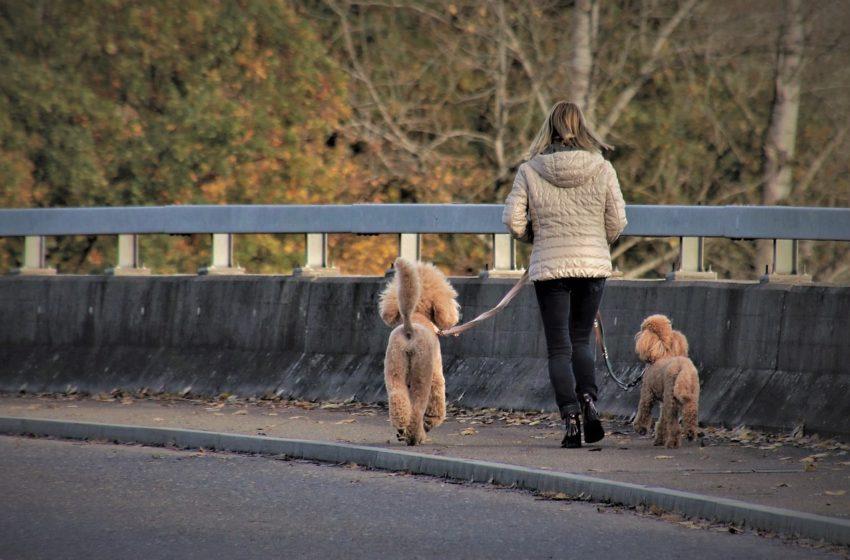 Dog Walker – Wyprowadzacz Psów. Oferta usług jest coraz szersza