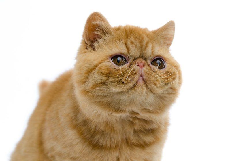 Kot egzotyczny to Garfield pomiędzy mangą a anime