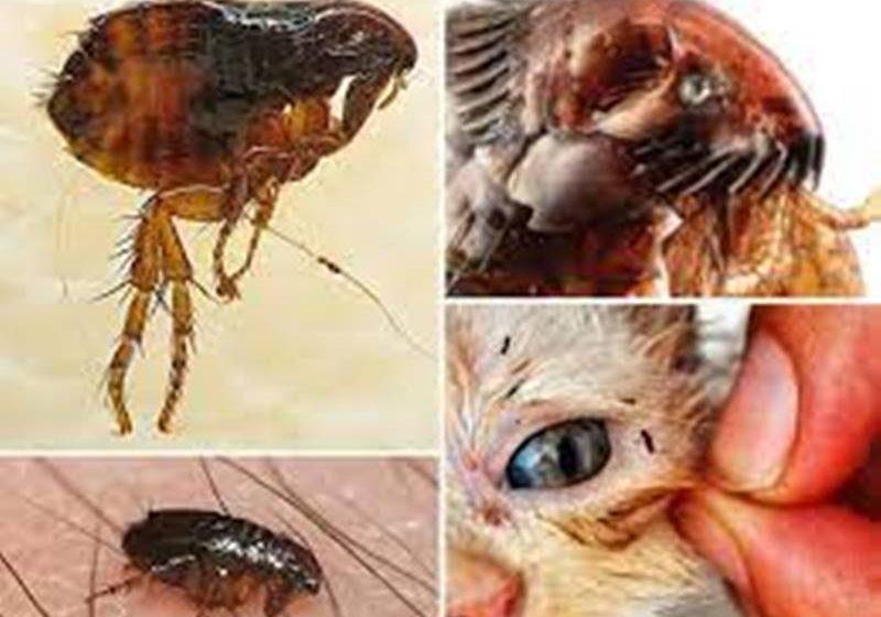 Pchły – niewielkie, irytujące i niebezpieczne. 2300 gatunków…