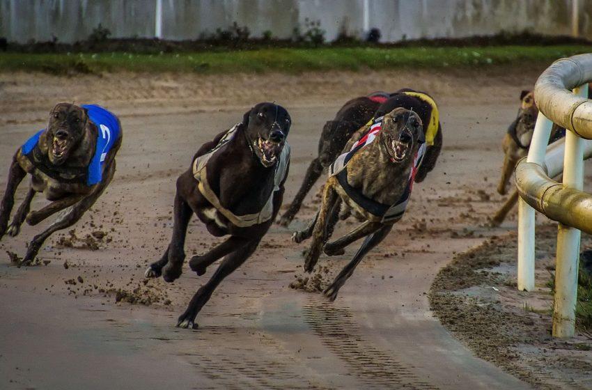 Jaki jest najszybszy pies świata? Greyhound!