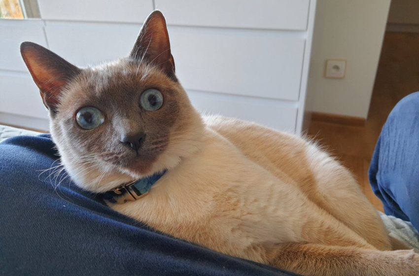"""Kot tajski to dawny syjam. """"Naczynie"""" dla dusz zmarłych"""