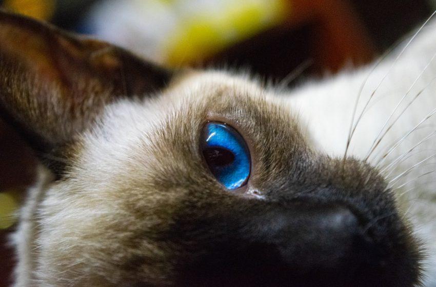 W kącikach szafirowych oczu kociego syjama czai się niezależność