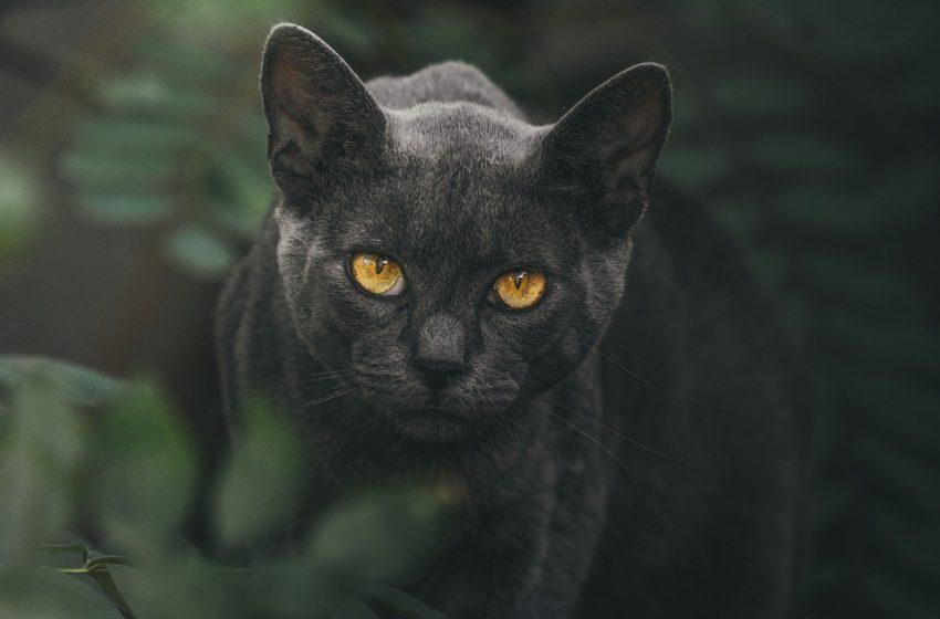Ile czarnej pantery jest w kocie bombajskim?