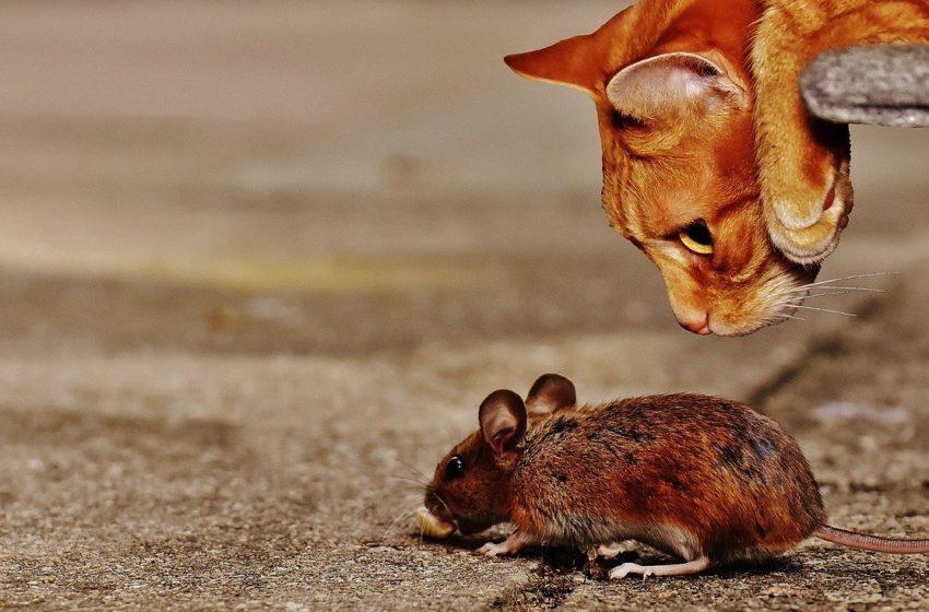 To nie wymysł bajkopisarzy. Koty naprawdę lubią jeść myszy
